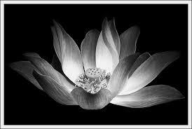 black and white lotus flower