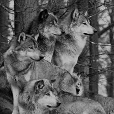 black and white photo of wolves