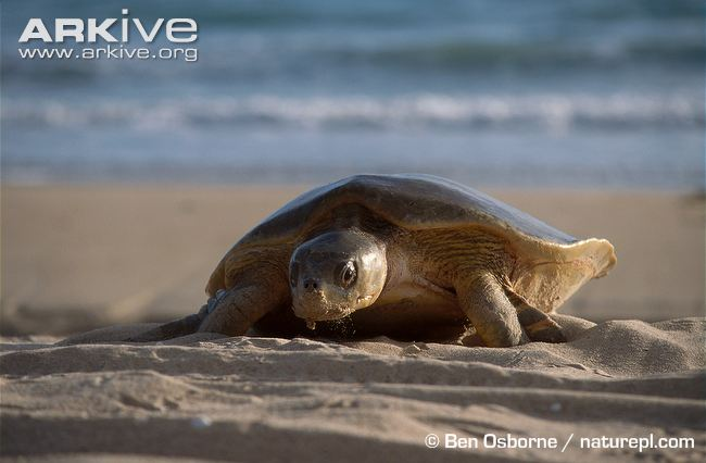 Flatback-turtle-climbing-up-beach-to-lay-eggs