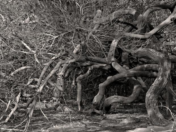 tangled-branches-arik-baltinester